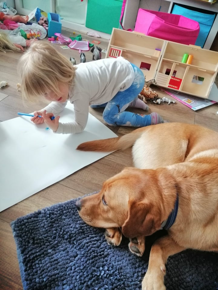 Fox-Red Labrador lying next to a child who is in his care
